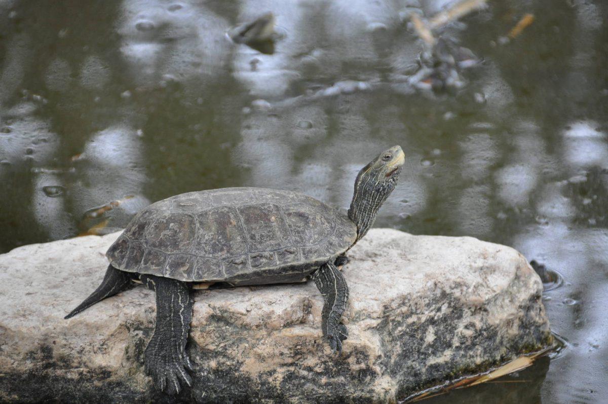 لاکپشت خاکی