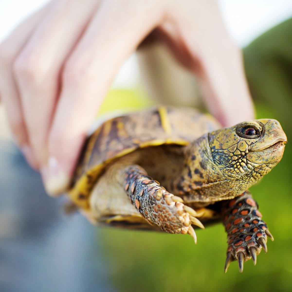 از لاکپشت کنار برکهای خزری