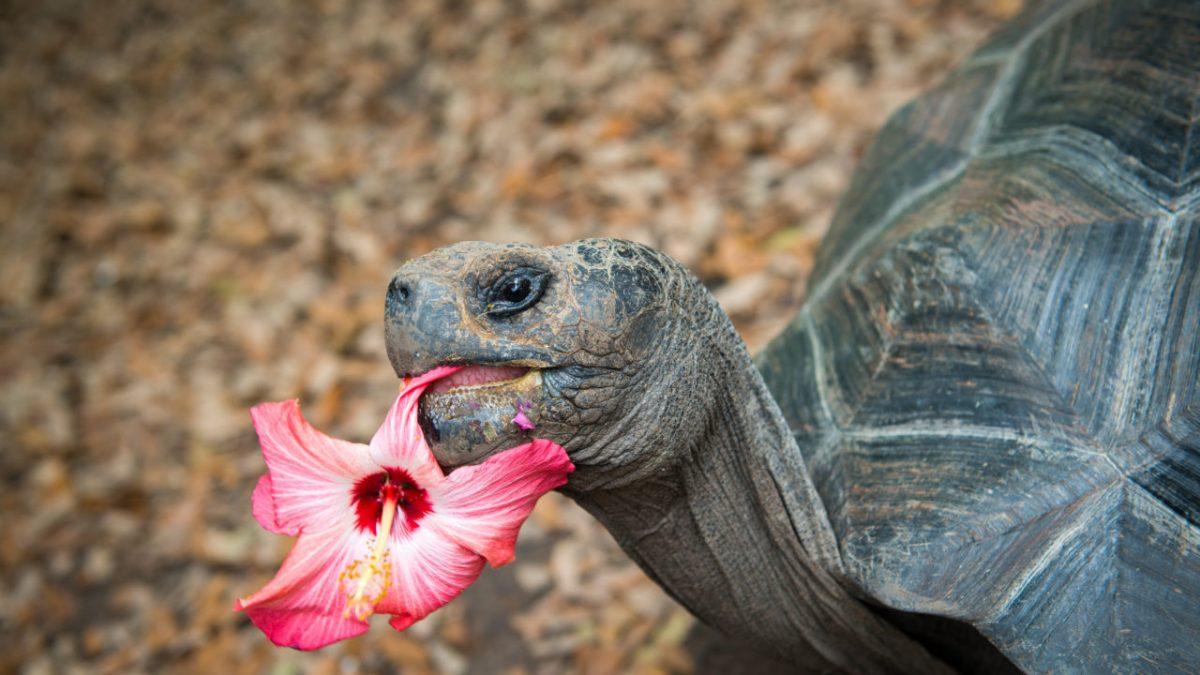 گل خوردن لاک پشت