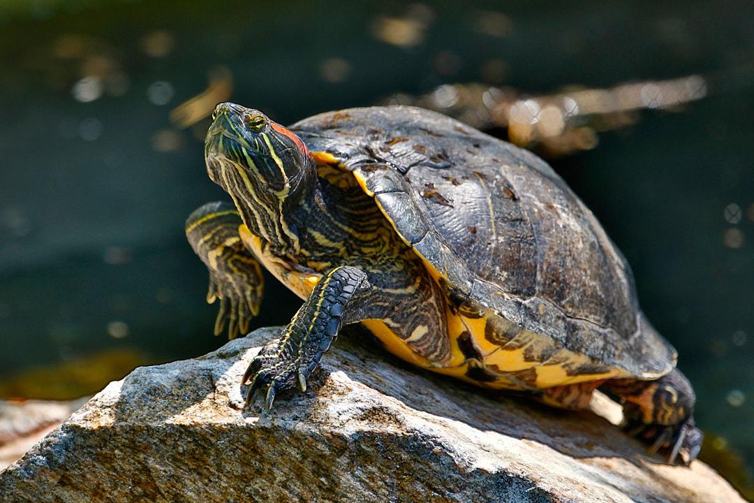 لاکپشت خوشرنگ