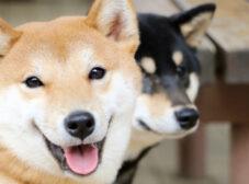 معرفی نژاد سگ شیبا اینو؛ زیبا و مغرور با اخلاق گربهای!