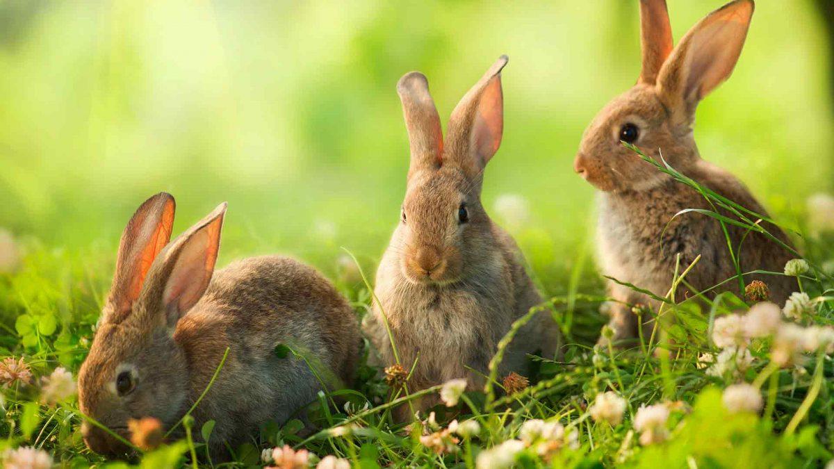 خرگوش وحشی