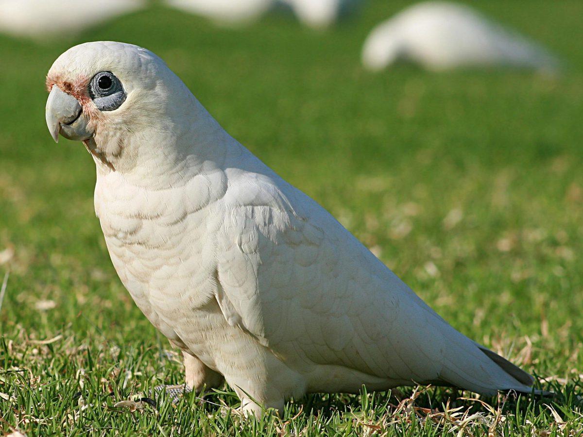 نژاد چشم برهنه کاکادو