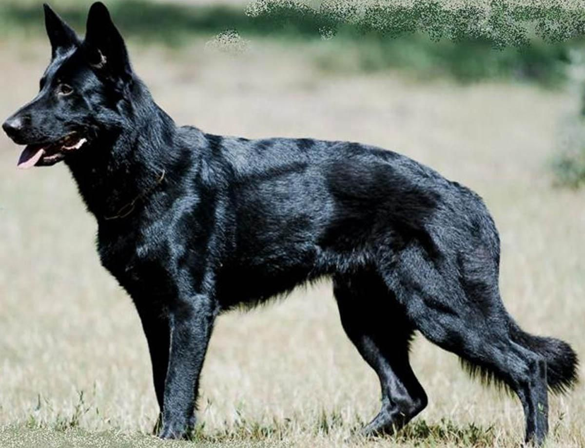 سگ ژرمن ورک بلک
