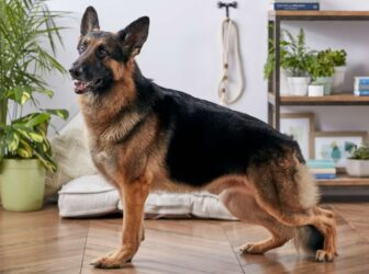 همه چیز در مورد سگ ژرمن شپرد شولاین یا نمایشی