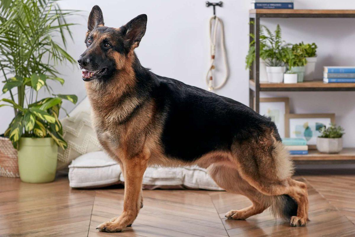 سگ ژرمن شپرد شولاین