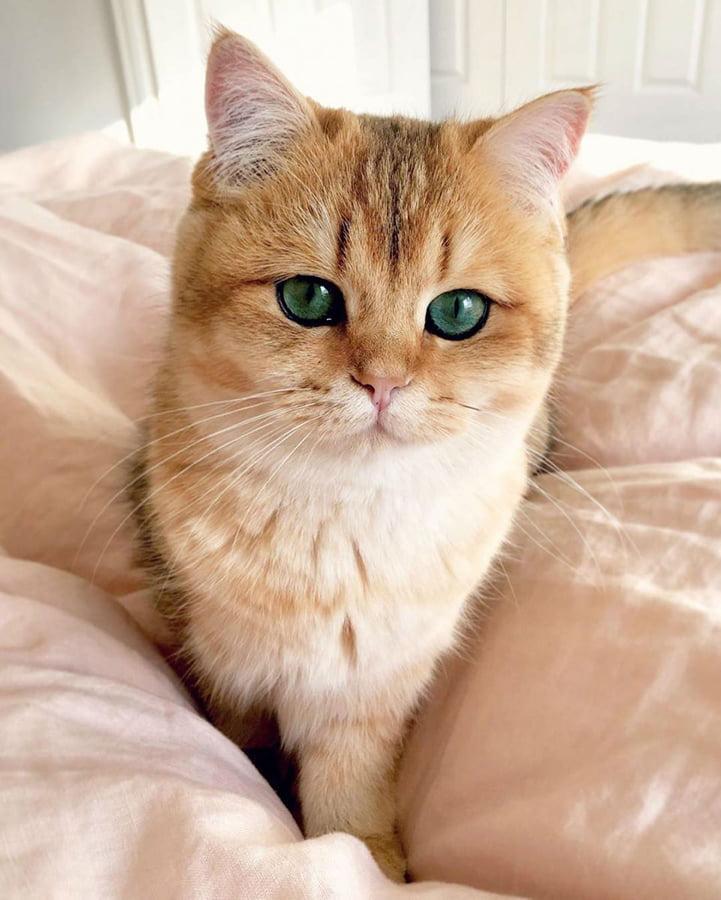 گربه بریتیش شورت هیر با چشمانی سبز