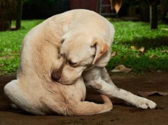 ۱۰ بیماری پوستی شایع در سگها + علائم و درمان
