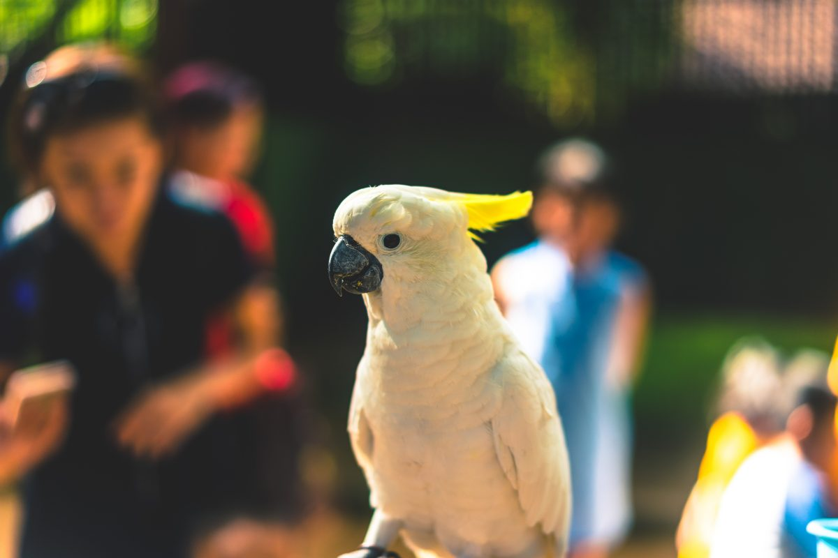 کاکادو، پرنده خوشگل و تاج دار ولی جیغ جیغو و خرابکار!