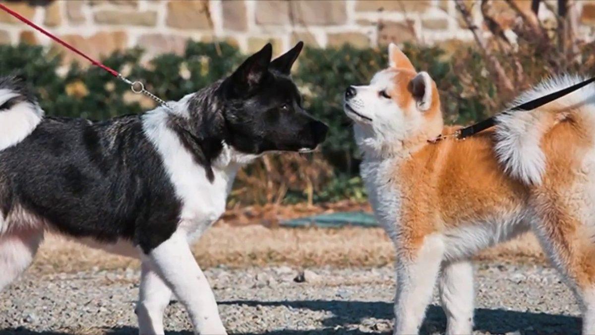 انواع سگ آکیتا