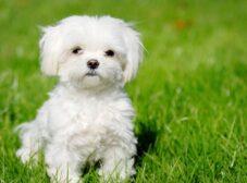 راهنمای تربیت سگ مالتیز عروسکی و نکات مهم آموزشی!