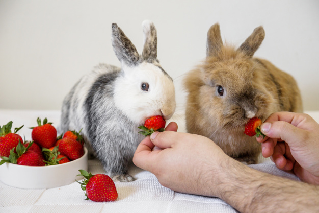 دادن توت فرنگی به خرگوش
