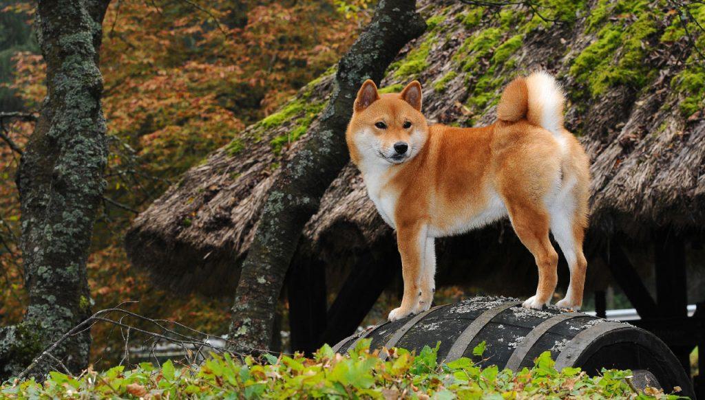 سگ شیبا در طبیعت