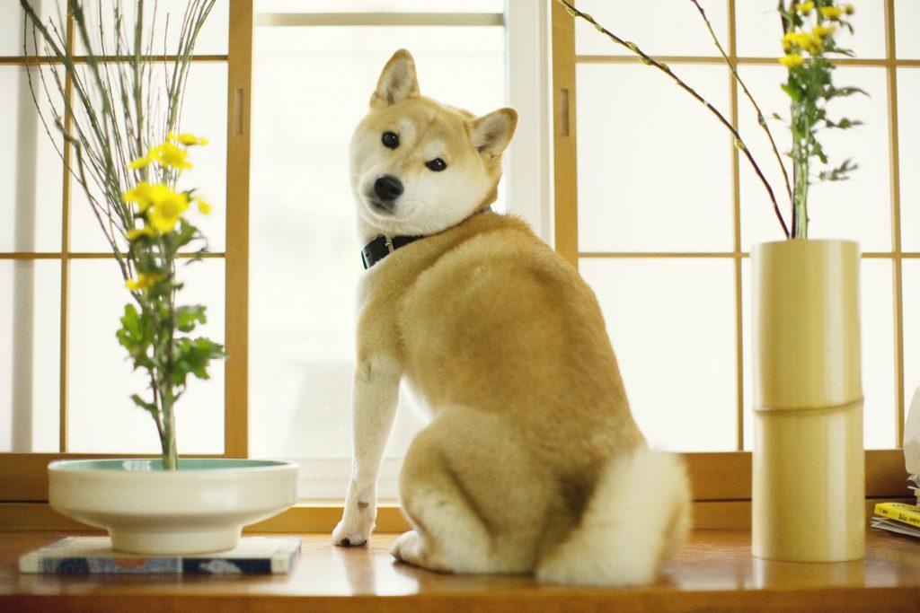 نگهداری سگ شیبا اینو