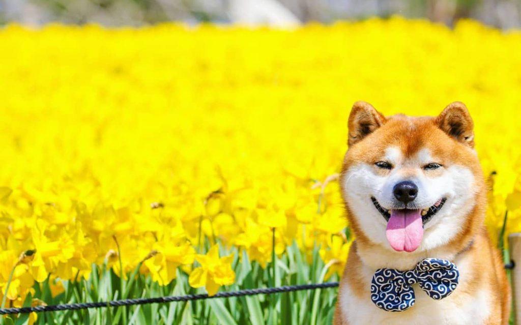 خصوصیات سگ نژاد شیبا اینو