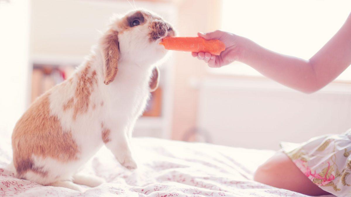خرگوش در حال خوردن هویج