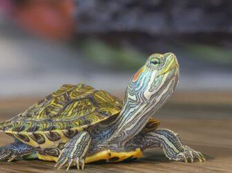 نحوهی نگهداری از لاکپشت خانگی
