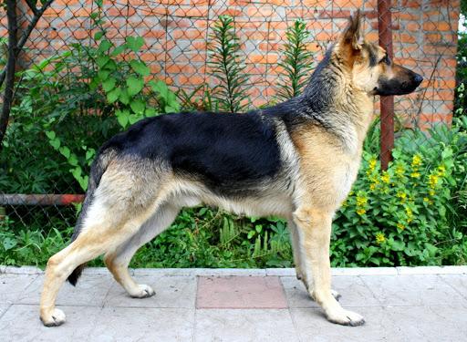 سگ ژرمن شپرد کاری