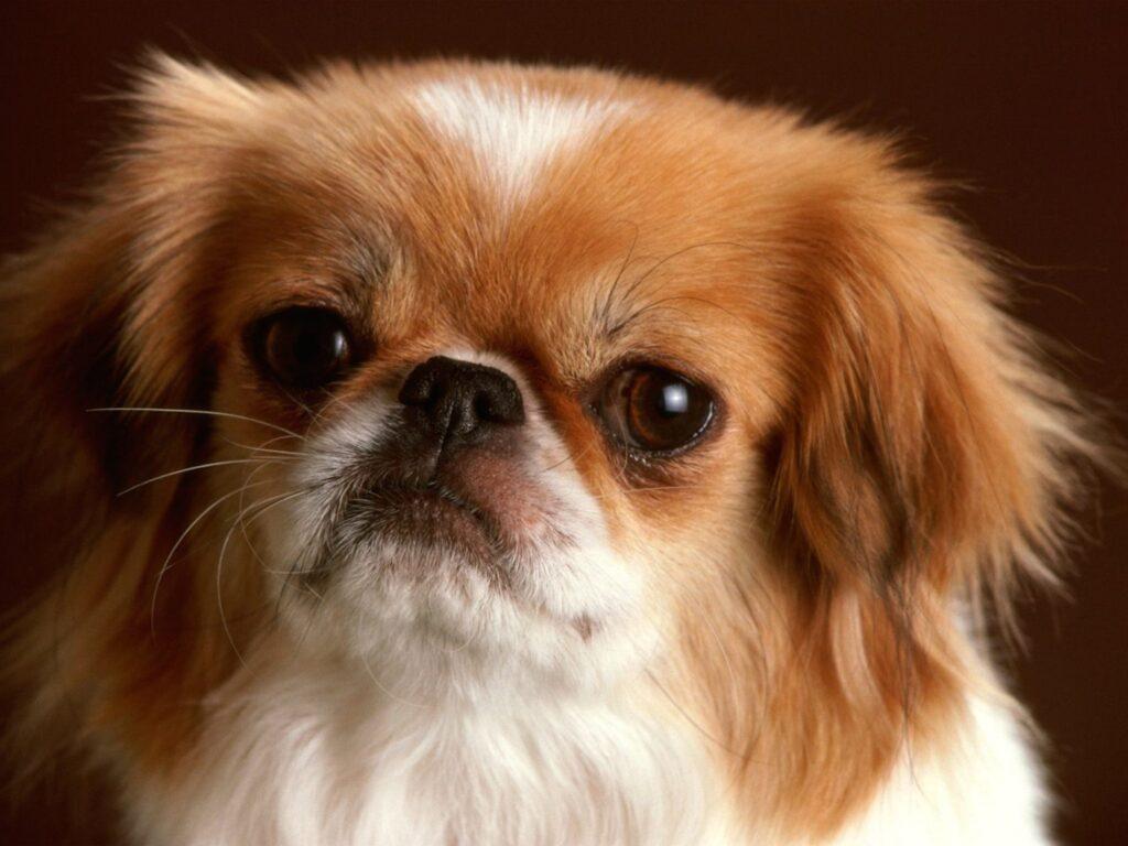 سگ پیکینیز