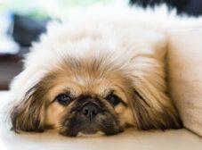 معرفی سگ نژاد پیکینیز این نژاد سلطنتی