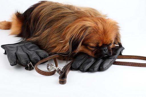سگ پیکینیز روی دستکش چرمی خوابیده