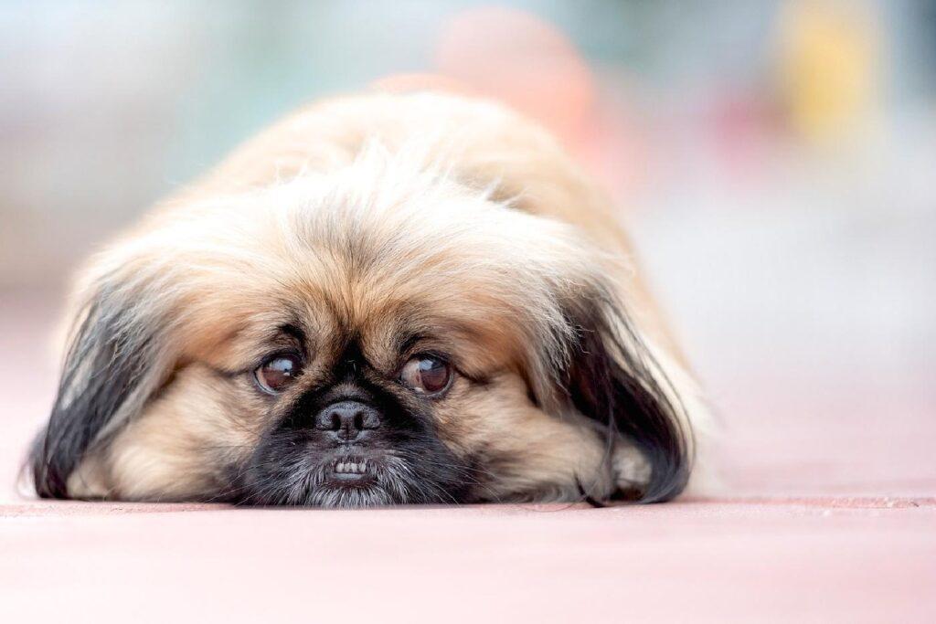 سگ پکینیز ناراحت