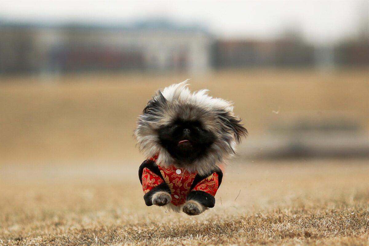 سگ پیکینیز در حال دویدن