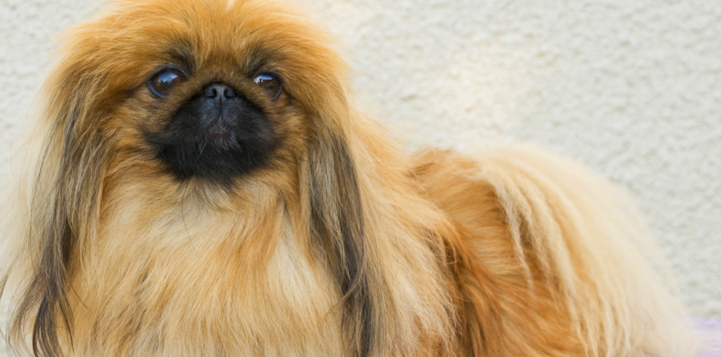 سگ پوزه کوتاه پیکینیز
