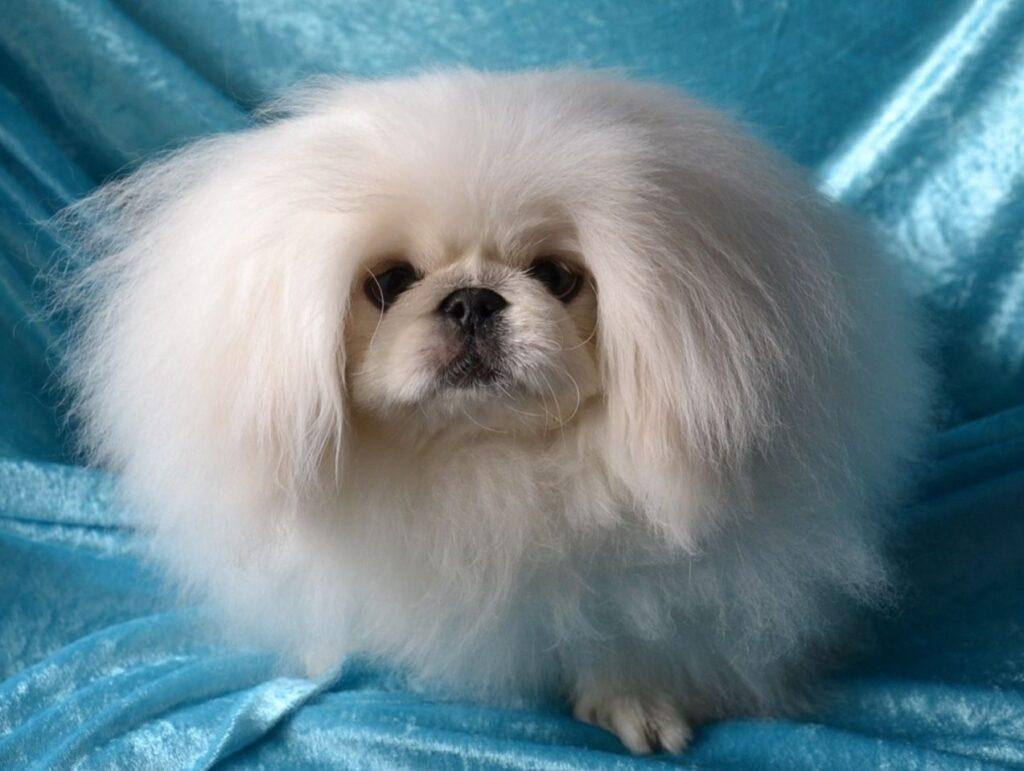 سگ پیکینیز سفید