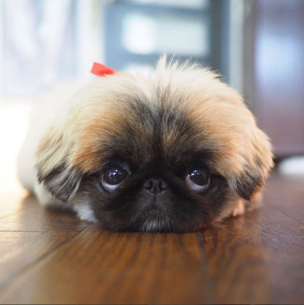 توله سگ پکینیز با پاپیون