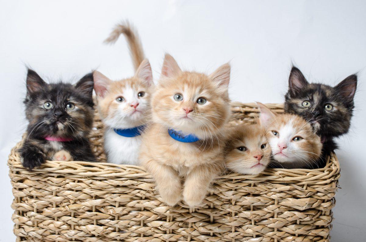 چند گربه در سبد