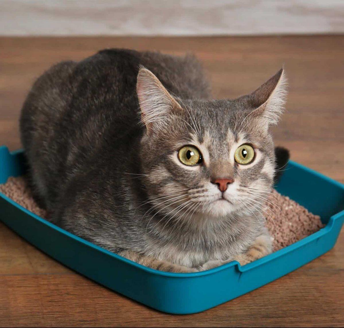 گربه در خاک