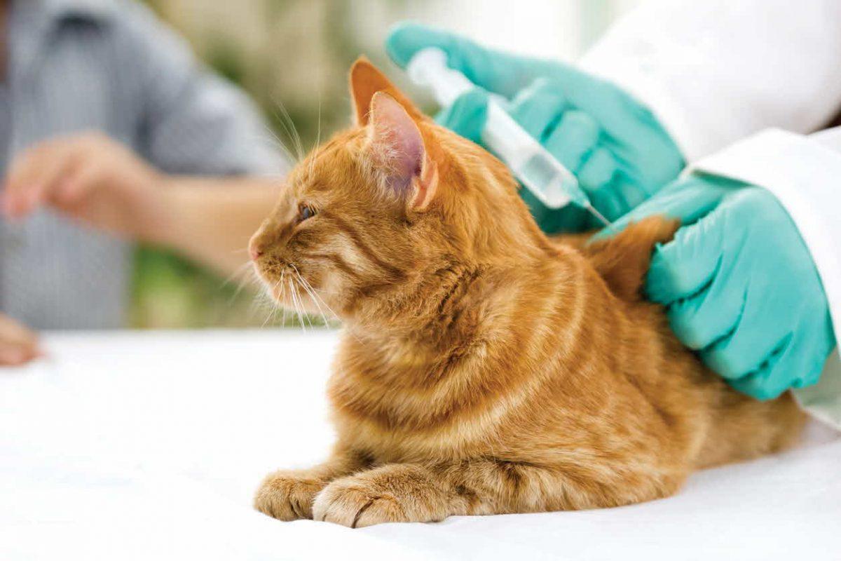 گربه در حال واکسیناسیون
