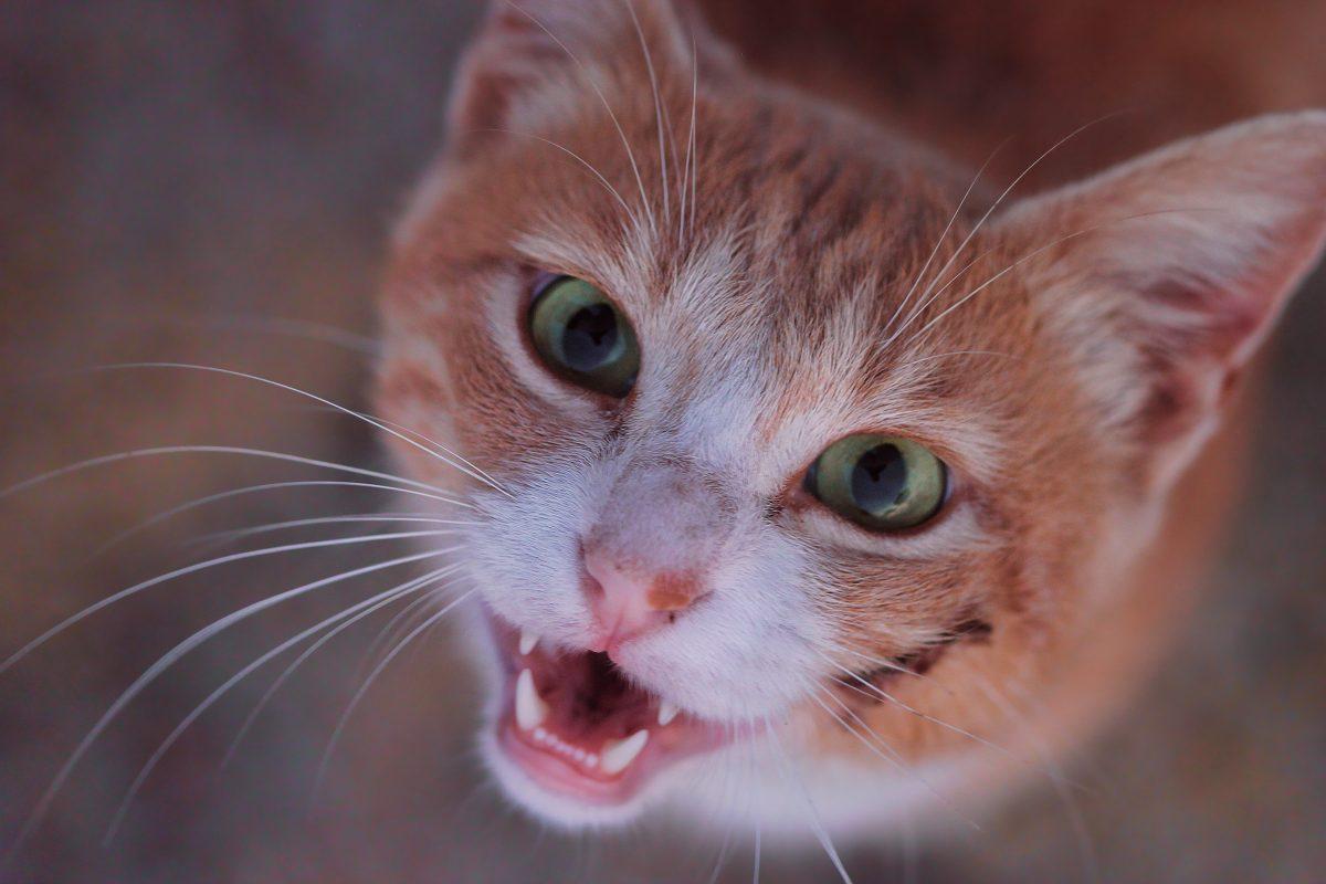 گربه با چشمهای سبز