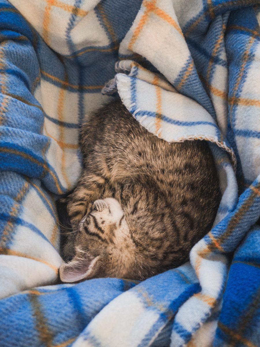 گربه در پتو