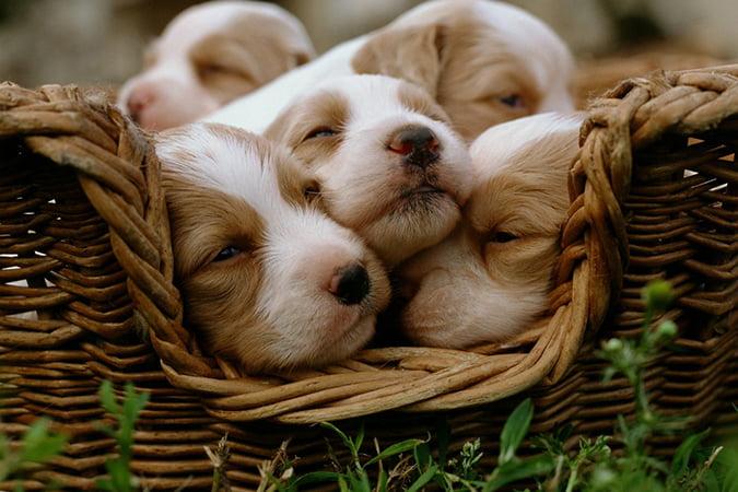 توله سگ ها داخل سبد