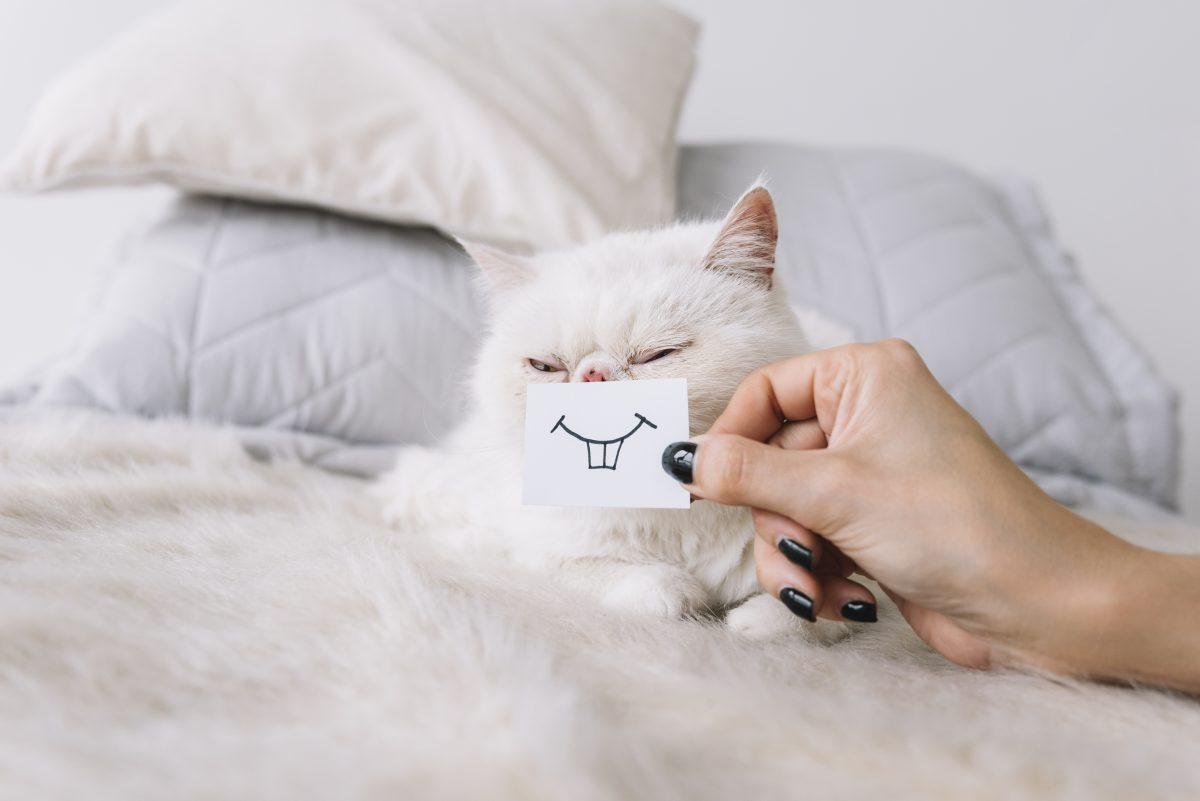 گربه پرشین در حال لبخند زدن