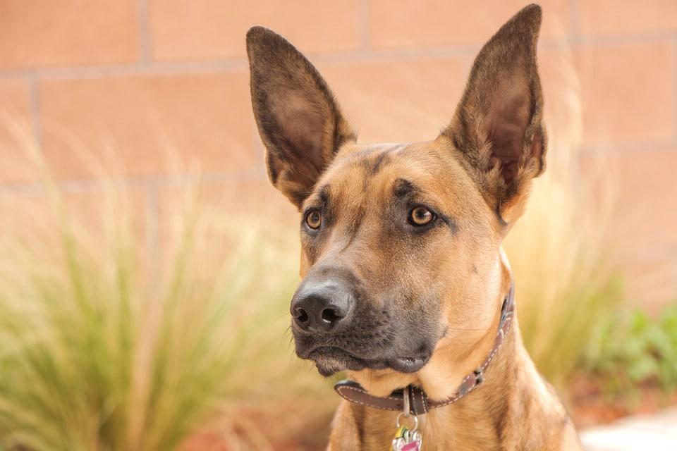 صورت سگ مالینویز