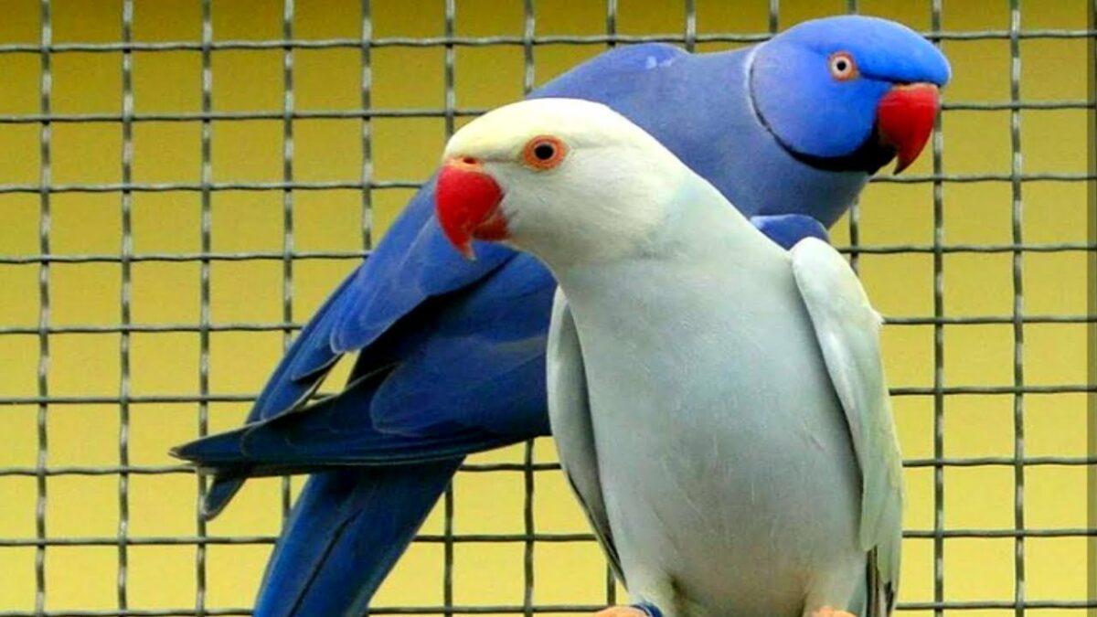طوطی ملنگو سفید آلبینو در قفس