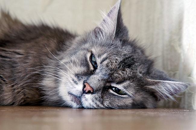 گربه خواب آلود