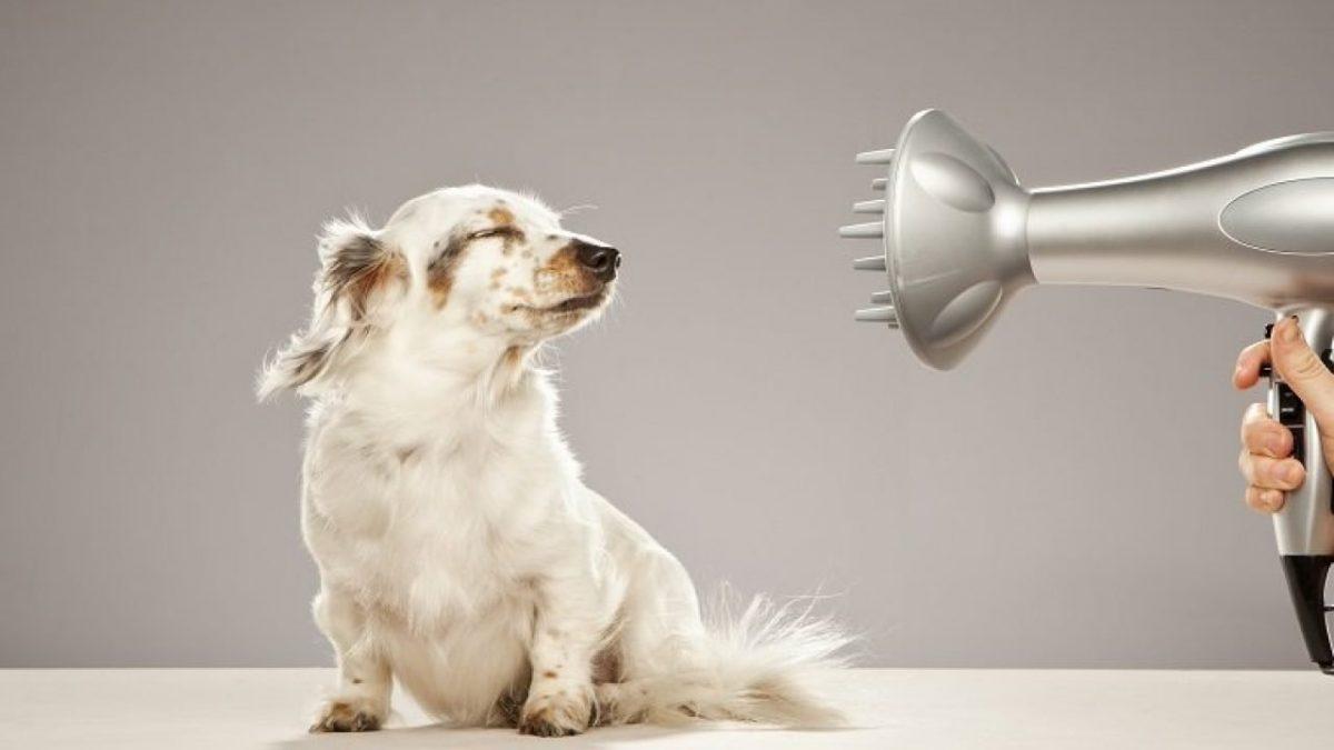 خشک کردن موهای سگ با سشوار