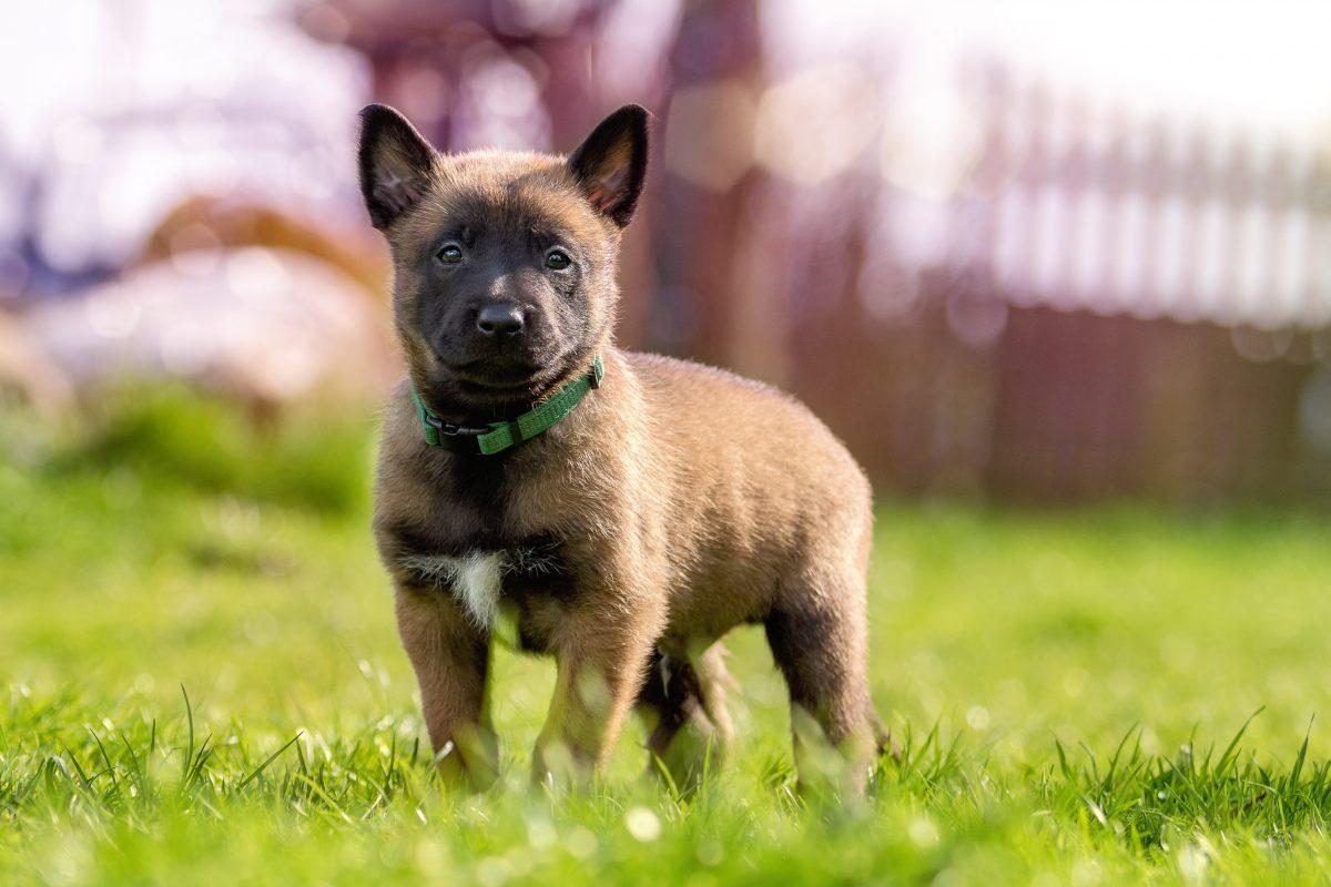 عکس توله سگ نژاد مالینویز