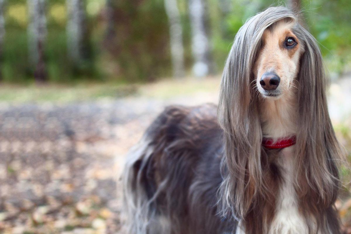 سگ موبلند