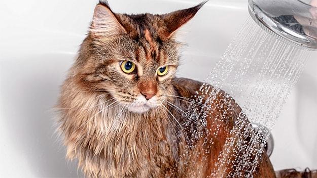 شستشوی گربه در منزل