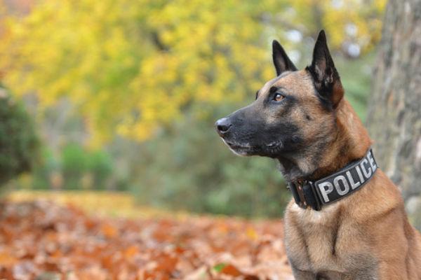 سگ مالینویز پلیس