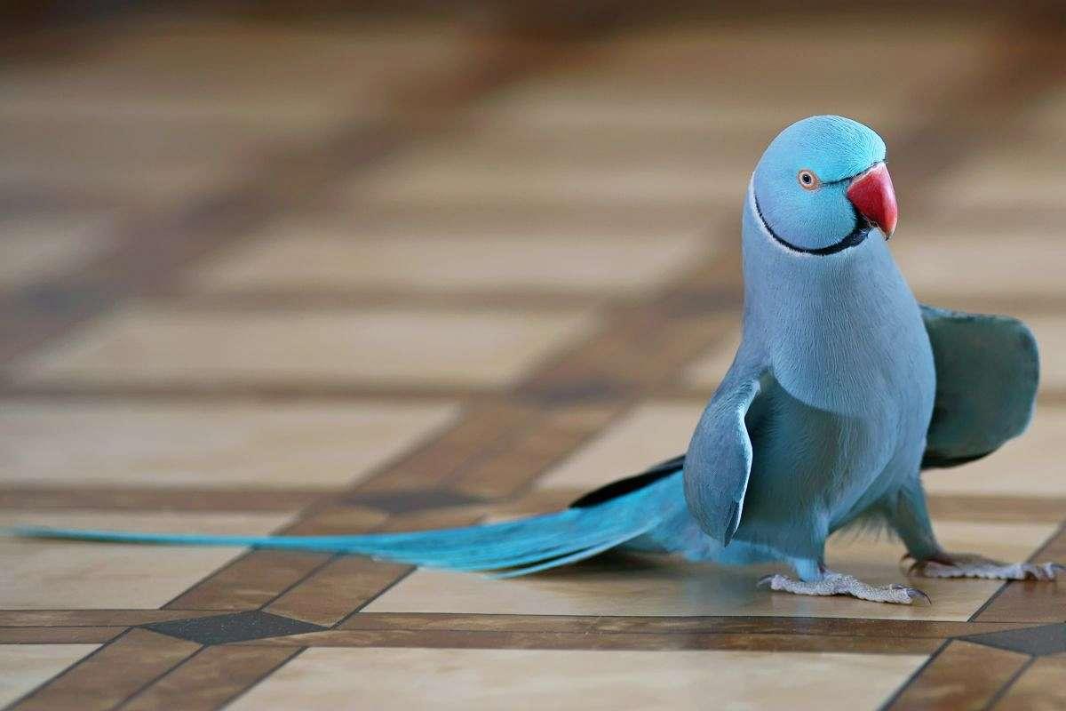 طوطی ملنگو آبی