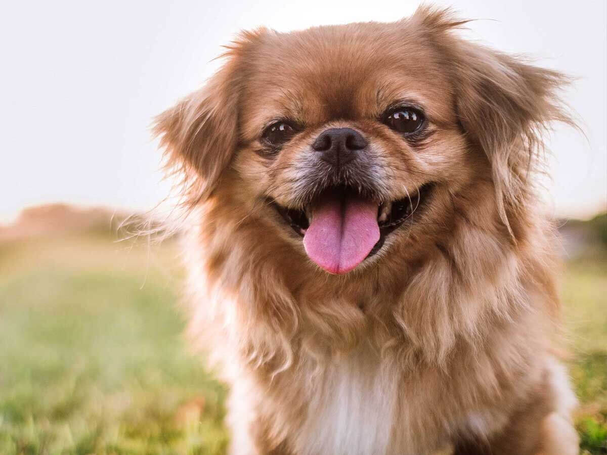 سگ نژاد پیکینیز پوزه گوتاه