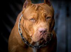 راهنمای تربیت سگ پیت بول به روش درست و اصولی!