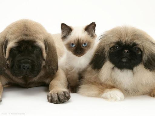 سگ پیکینیز و گربه سیامی