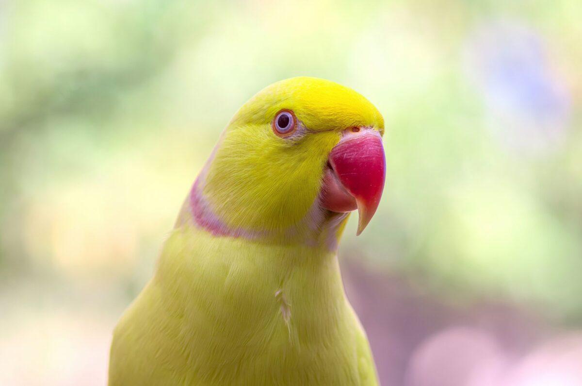 طوطی ملنگو زرد